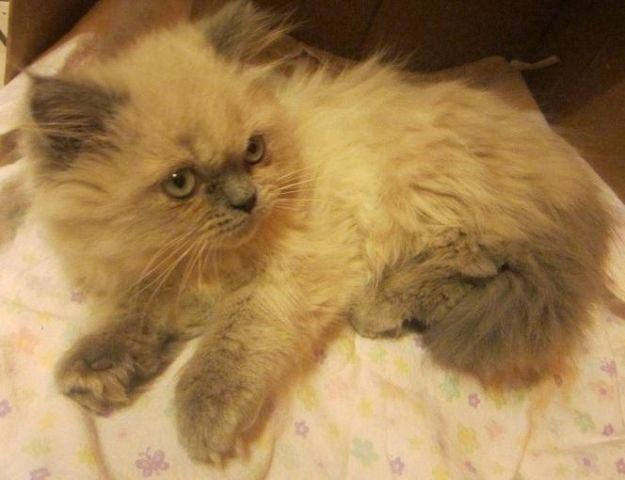 Persian Himalayan Mix Kitten For Sale In Huntley Illinois