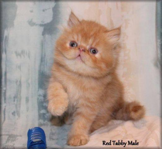 Persian kittens for sale brookville pa