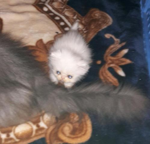 Persian Kitten For Sale In Memphis Tennessee Classified Americanlisted Com