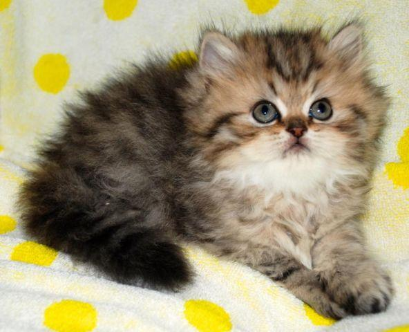 Persian kitten brown/golden tabby female ready after 3/4 for Sale in ...