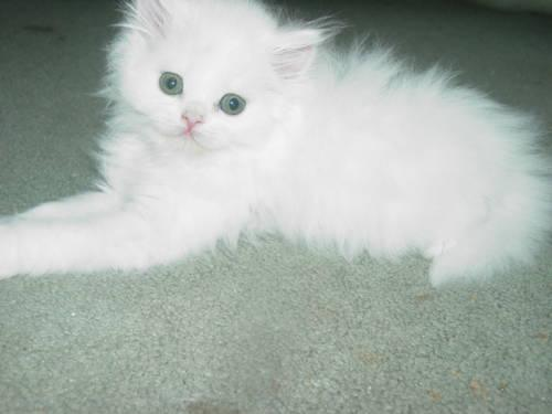 PERSIAN KITTEN~CFA~8 WEEKS~SOLID WHITE CHAMPION BL