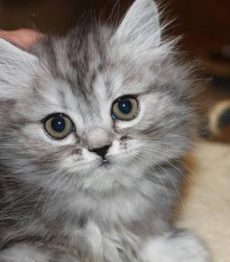 Persian Kitten Female Doll Face Silver Tabby_22344345 on Real Estate Gainesville Fl