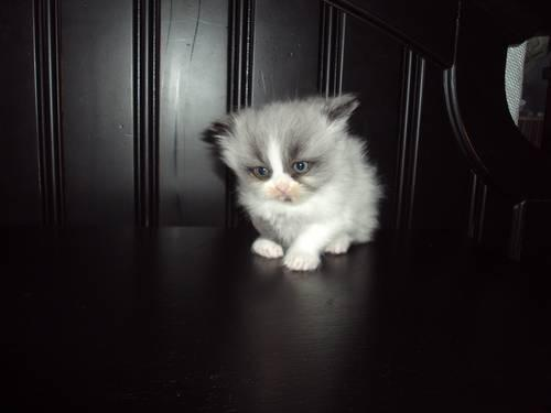 Persian Kittens For Sale In New Whiteland Indiana Classified Americanlisted Com