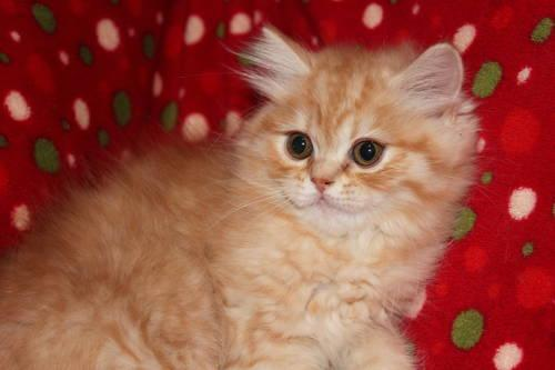 Persian Kittens 3 males available
