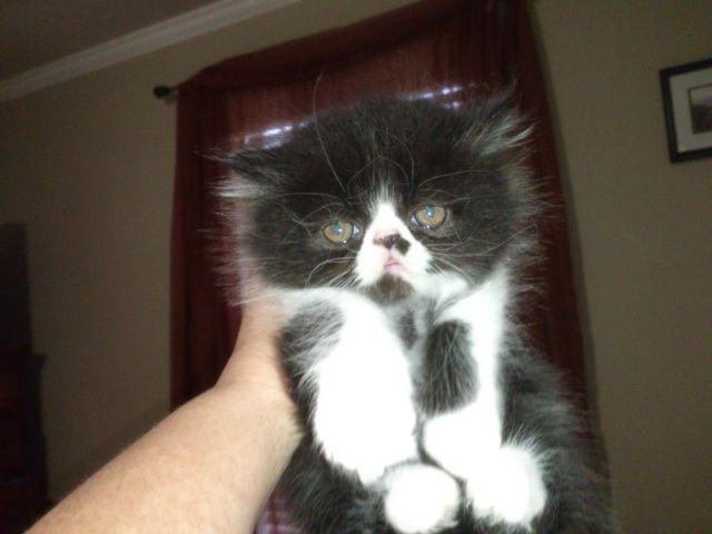 The Best Parrots In The World: Teacup Persian Kittens For ...