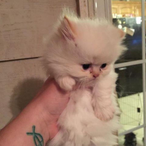 Persian cat for sale okc