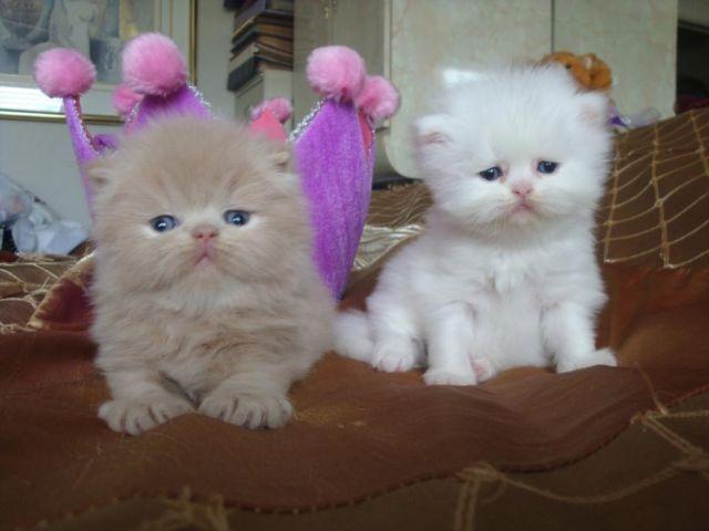 Persian Kittens Gorgeous: CFA Regis,Pedigr, Health Certific,Tampa ...