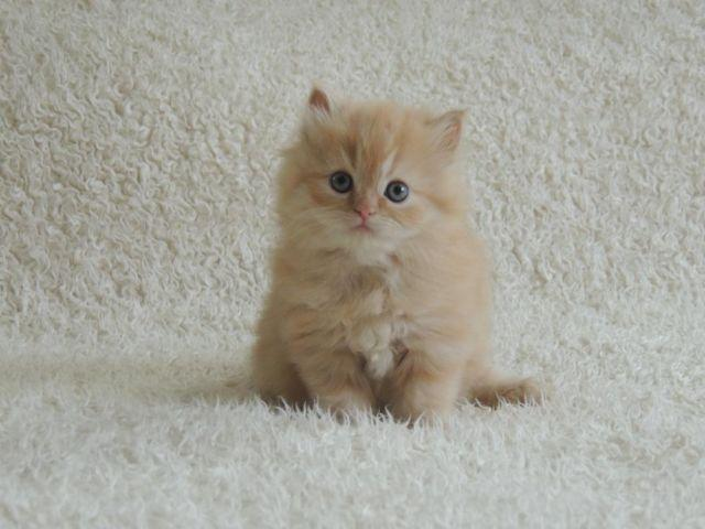 333785 Exotic Persian Kittens For Sale Bradford together with 05 in addition Birman Cat moreover Bengal Cat moreover Exotic Shorthair. on persian himalayan cat breeders