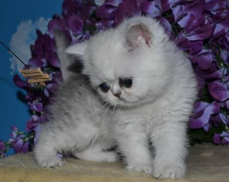 Anyone know where i could find a cheap persian kitten in wisconsin?