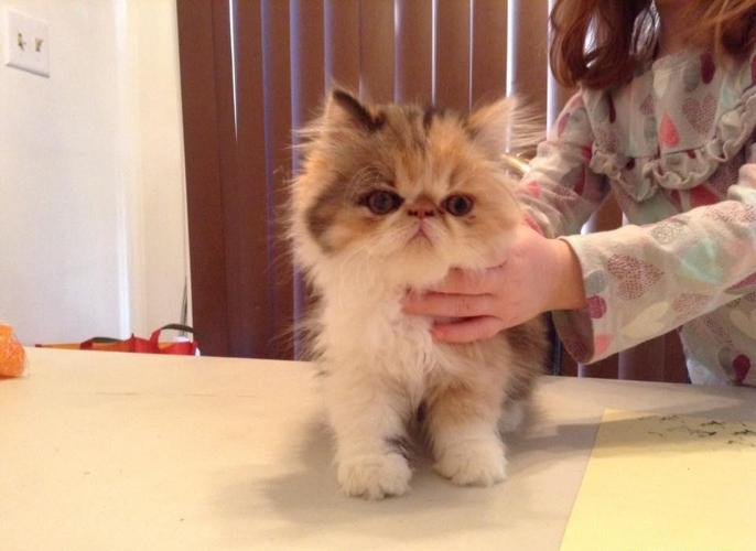 Persian Kittens For Sale For Sale In Norton Massachusetts Classified Americanlisted Com