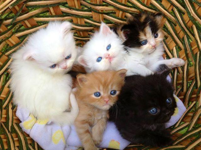 Persian Kittens for sale Black smoke red bi color whites