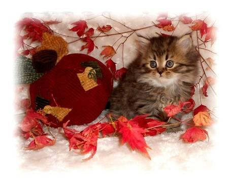 More Birth Certificate Questions Raised >> PERSIAN KITTENS FOR SALE Brown Mac Tabby Female White Odd Eye Male CFA for Sale in Agnew ...