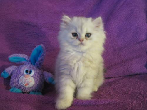 PERSIAN KITTENS FOR SALE, CFA REGISTERED For Sale In