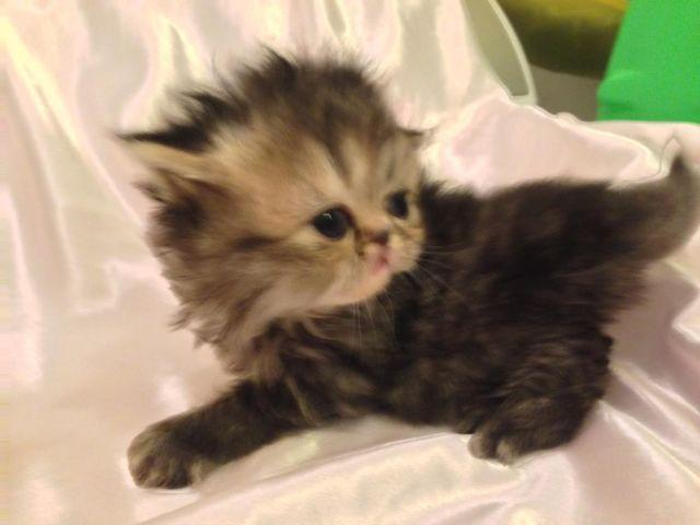 Persian Kittens for Sale Dallas, Teacup, White, Calico for Sale in ...