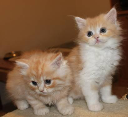 Inspiring Teacup Persian Kittens For Sale In Florida Images - Best ...