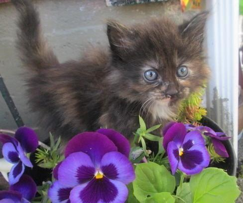 Maine Coon Kittens For Sale Seattle PersianMaine coon fluffy