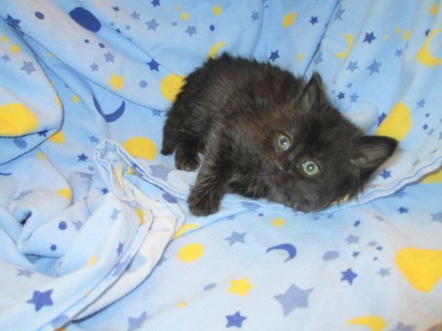 Maine Coon Kittens For Sale Seattle Persian/Maineco...