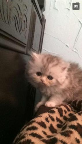 Persian Male Kittens For Sale In Victoria Texas Classified
