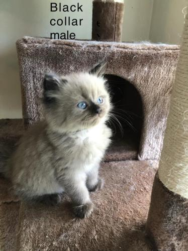 Persian/ragdoll Kittens