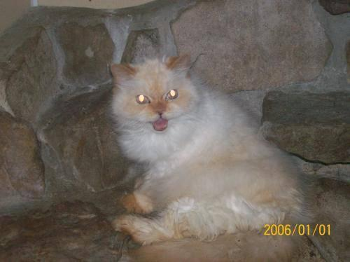 Persian - Snow White - Extra Large - Adult - Female -