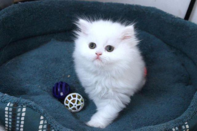 Persian Very Fluffy Kitten Male For Sale In Tampa Florida Classified Americanlisted Com