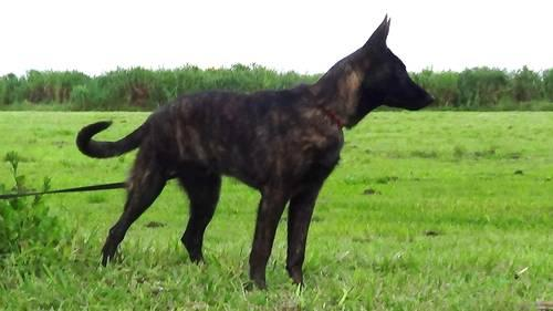 Personal Protection Dutch Shepherd Puppy for Sale in Everglades ...