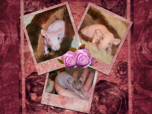 pet/ breeder /feeder rats for sale males. dumbo/ Rex/