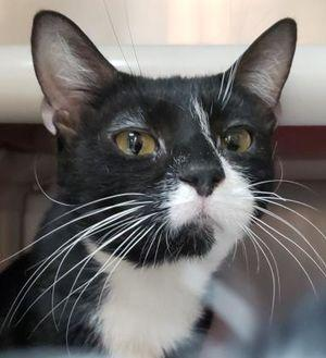 Petey Domestic Shorthair Adult Male