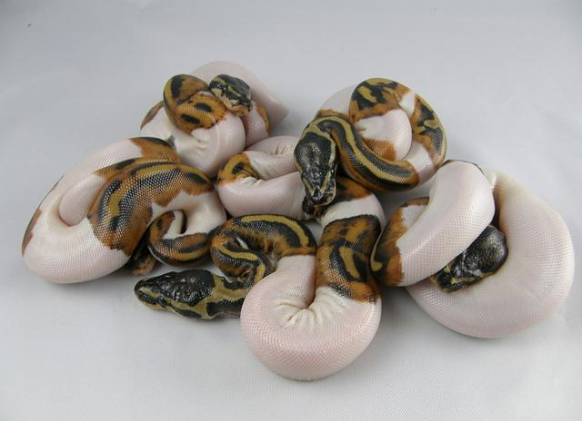 Piebald ball pythons  for Sale in City Of Industry, California