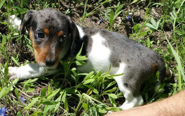 Dachshund puppies for sale in houston texas