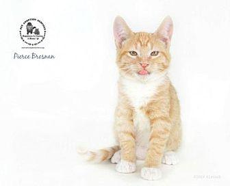 Pierce Brosnan Domestic Shorthair Kitten Male