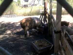 pigs - $25 (naylor ga)