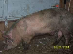 Pigs For Sale (Mooers, NY)