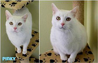 Pinky Domestic Shorthair Male