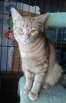 Pippin Domestic Shorthair Young Female