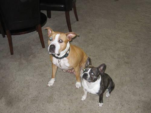 Pistons Pure Pit 1 2 French Bulldog 1 2 Boston Terrier Faux French For Sale In Medford