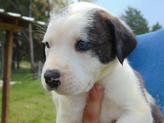 Pit/Boxer Mix Puppies for Sale in Case, Missouri ...