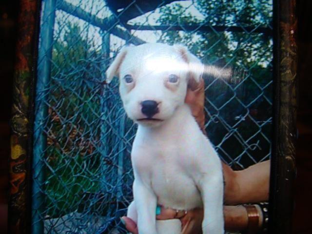 Pitbull Mastiff Pups For Sale In Mountain View Arkansas Classified