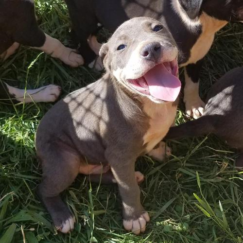 Pit Bull Puppies For Sale In Hickory North Carolina Classified