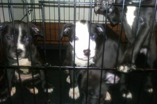 PIT BULL PUPPIES