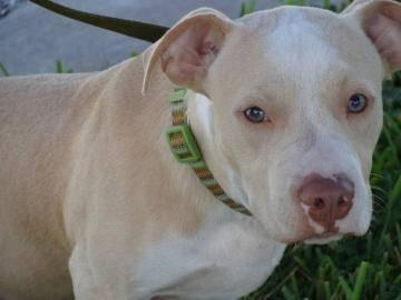 Pit Bull Terrier - Bailey - Large - Young - Male - Dog