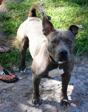Pit Bull Terrier - Berry - Medium - Adult - Male - Dog