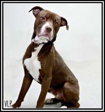 Pit Bull Terrier - Crush - Large - Adult - Male - Dog for