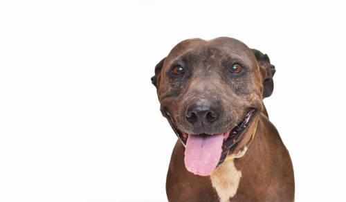 Pit Bull Terrier - Daisy Mae - Medium - Adult - Female