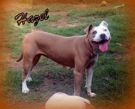 Pit Bull Terrier - Hazel *pocket Pitbull* - Medium - Young