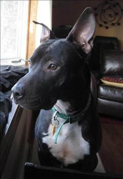 Pit Bull Terrier - Keaton - Medium - Adult - Male - Dog