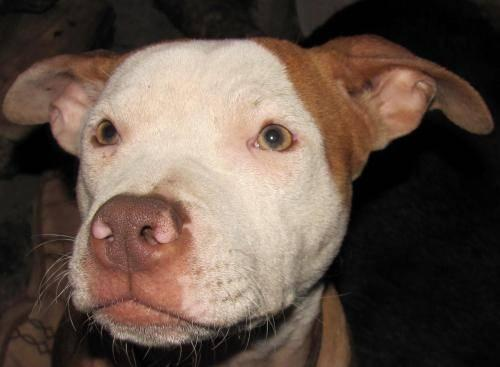 Pit Bull Terrier - Olivia - Medium - Young - Female -