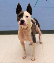Pit Bull Terrier - Stella Luna - Large - Adult - Female