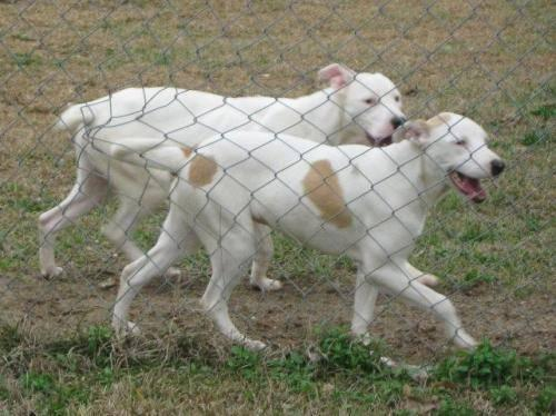 Pit Bull Terrier - Tia And Tamara - Medium - Adult -