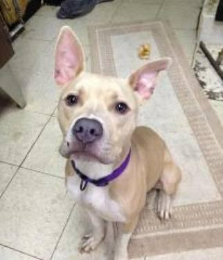 Pit Bull Terrier - Tommy - Small - Young - Male - Dog